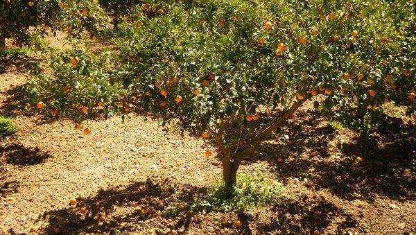 Мандариновый сад - Sputnik Азербайджан