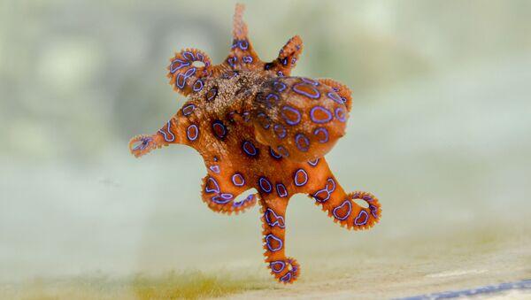 Синекольчатый осьминог - Sputnik Азербайджан