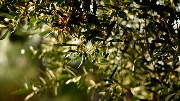 Zeytun ağacı, arxiv şəkli - Sputnik Азербайджан