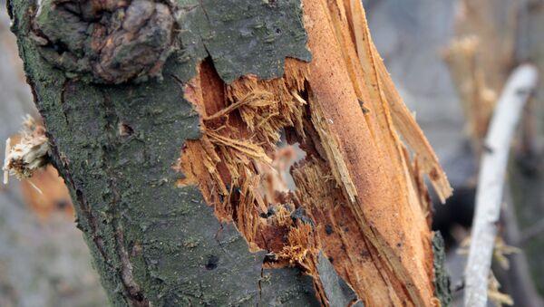 Поврежденный ствол садового дерева, фото из архива - Sputnik Azərbaycan