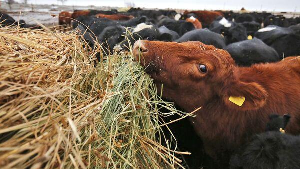 Корова фермерского хозяйства, фото из архива - Sputnik Азербайджан