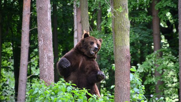 Медведь, фото из архива - Sputnik Азербайджан