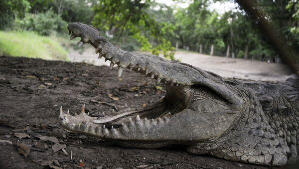 Крокодил, фото из архива - Sputnik Азербайджан