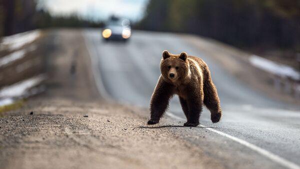 Бурый медведь после зимней спячки, фото из архива - Sputnik Азербайджан