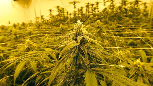 Плантация марихуаны, фото из архива - Sputnik Азербайджан