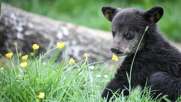 Медвежонок, фото из архива - Sputnik Азербайджан