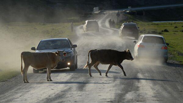 Коровы на дороге, фото из архива - Sputnik Азербайджан