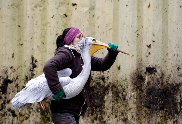 Смотритель зоопарка чешского города Двур-Кралове-над-Лабем с пеликаном - Sputnik Азербайджан
