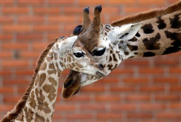Новорожденный жираф с родителем в Либерецком зоопарке в Чехии - Sputnik Азербайджан