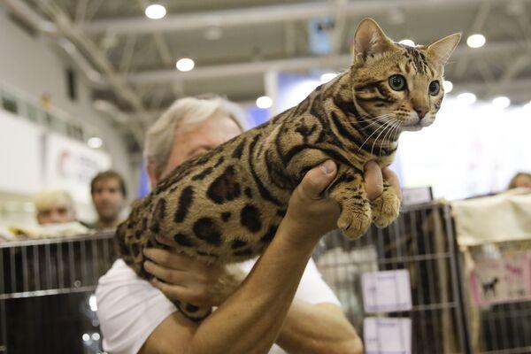 Бенгальский кот Аттила на котошоу в Риме - Sputnik Азербайджан