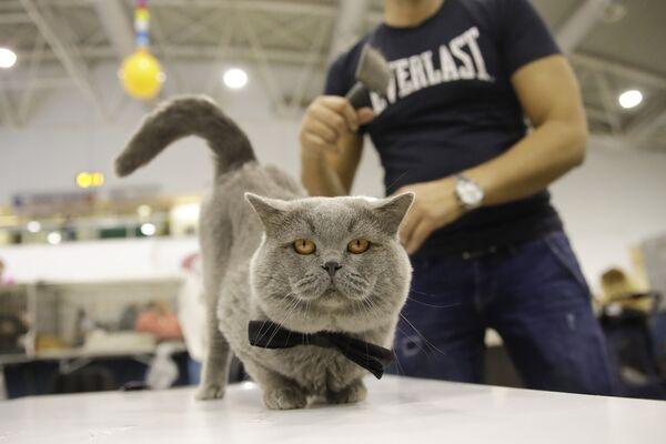 Британский короткошерстный кот Оскар на котошоу в Риме - Sputnik Азербайджан