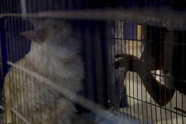 Кошка Леонида породы мейн-кун на котошоу в Риме - Sputnik Азербайджан