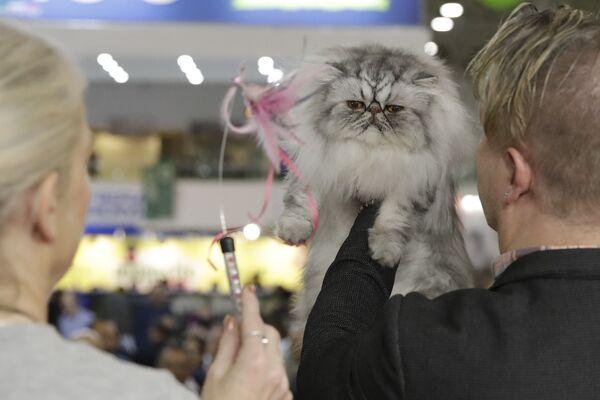 Судья оценивает кошку на котошоу в Риме, Италия  - Sputnik Азербайджан