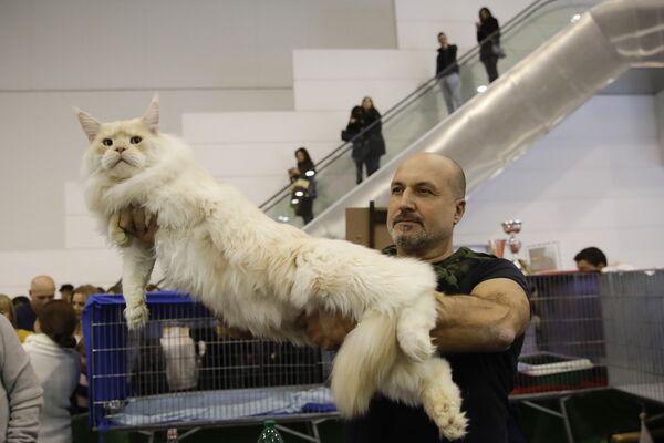 Кошка породы мейн-кун на котошоу в Риме, Италия  - Sputnik Азербайджан