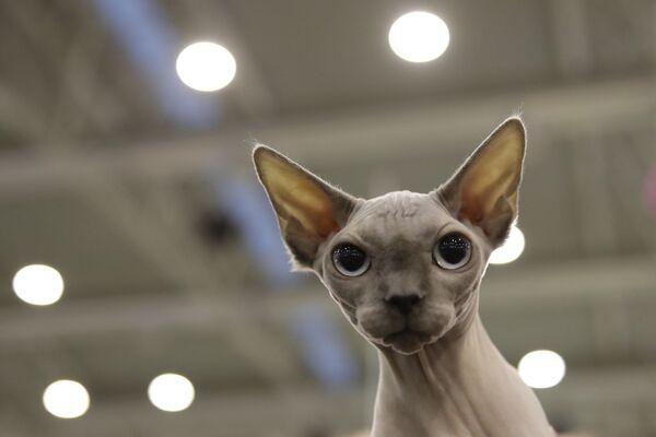 Кот породы сфинкс на котошоу в Риме, Италия  - Sputnik Азербайджан
