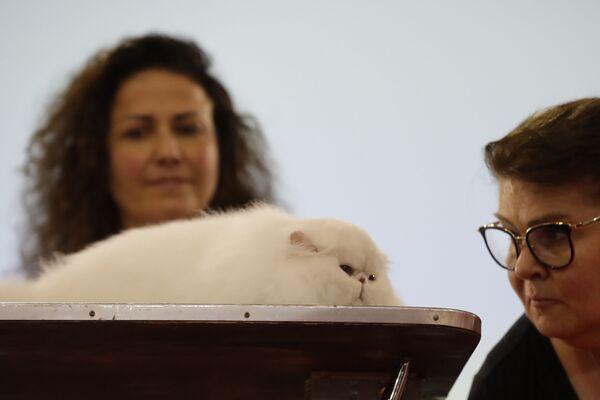 Персидский кот на котошоу в Риме, Италия  - Sputnik Азербайджан