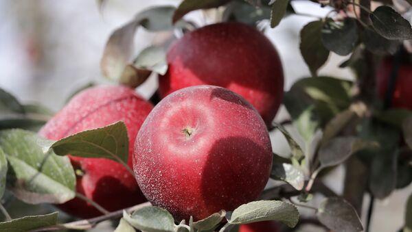 Новый сорт яблок под названием Cosmic Crisp - Sputnik Азербайджан