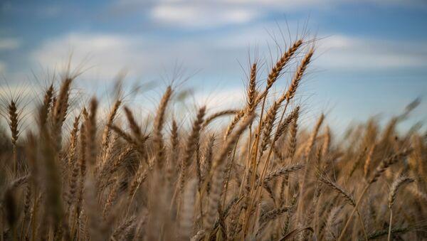 Пшеничное поле, фото из архива - Sputnik Азербайджан