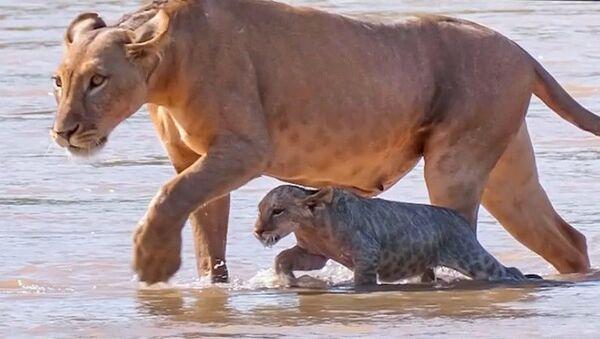 Львица помогла детенышам пройти вброд кишащую крокодилами реку - Sputnik Азербайджан