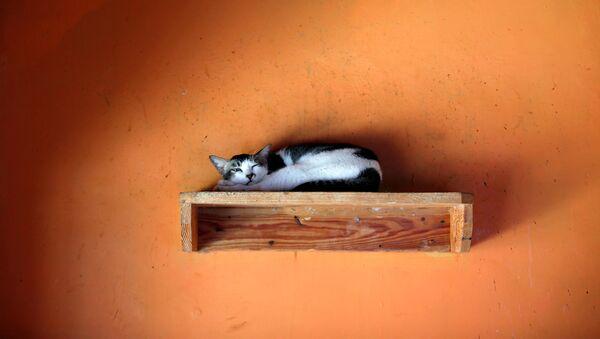Кот в приюте «Rumah Kucing Parung» в Богоре, Индонезия - Sputnik Азербайджан