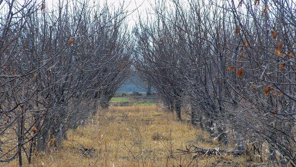 Mülayim hava şəraiti nəticəsində ağaclar quruyur - Sputnik Азербайджан