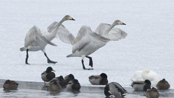 Лебеди-кликуны и утки-кряквы на Лебедином озере в Государственном природном комплексномзаказнике Лебединый в Алтайском крае - Sputnik Azərbaycan