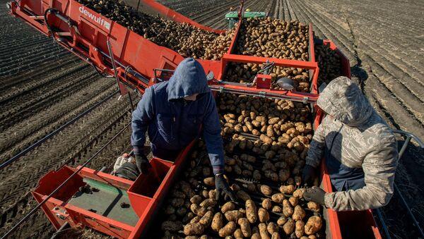 Уборка и переработка первого урожая картофеля, фото из архива - Sputnik Азербайджан