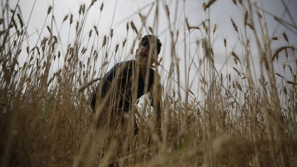 Фермер собирает пшеницу, фото из архива - Sputnik Азербайджан