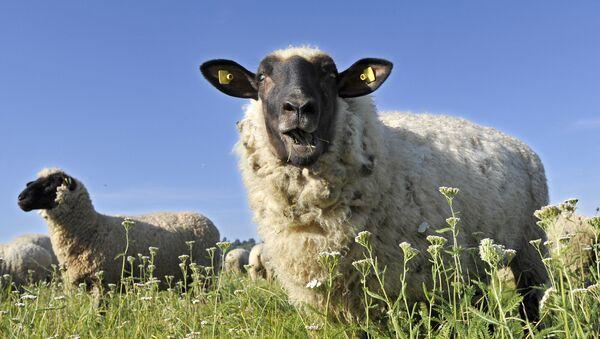 Стадо овец, фото из архива - Sputnik Азербайджан