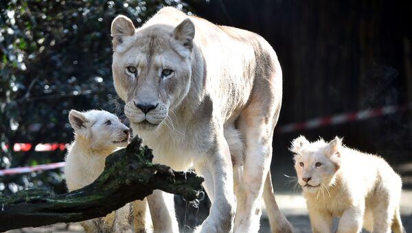 Белый лев с двумя львятами, фото из архива - Sputnik Азербайджан