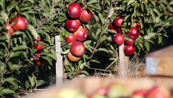 Сбор яблок, фото из архива - Sputnik Азербайджан