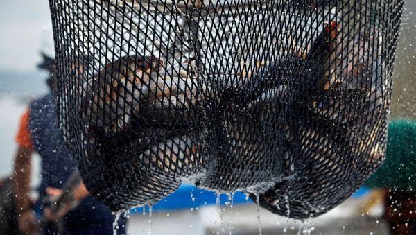Массовый лов рыбы, фото из архива - Sputnik Azərbaycan