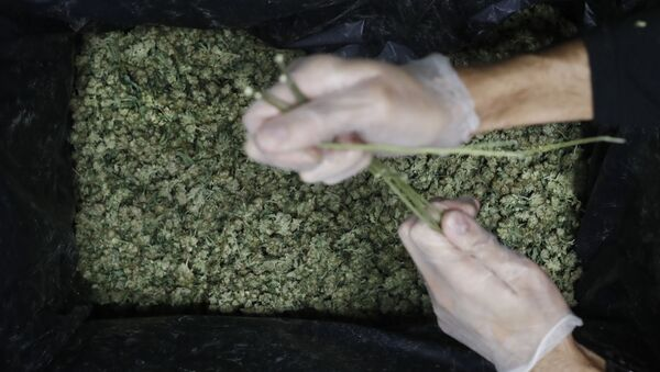 Образцы марихуаны, фото из архива - Sputnik Азербайджан