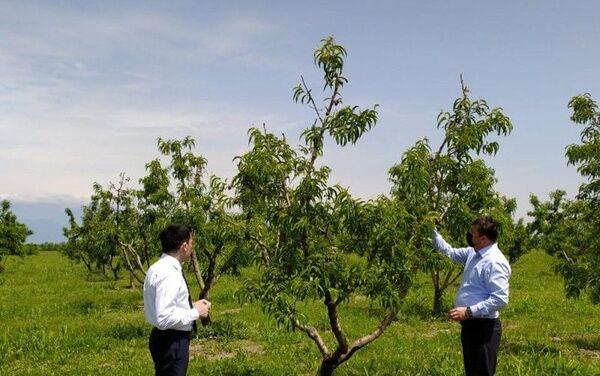 Во фруктовых садах в Шеки-Загатальском регионе выявлена болезнь парша яблони, у персиков найдена листовая деформация - Sputnik Азербайджан