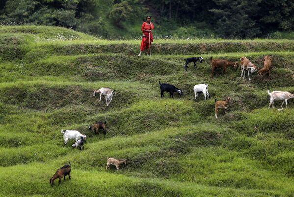 Женщина пасет своих коз на полях в Бхактапуре, Непал - Sputnik Азербайджан